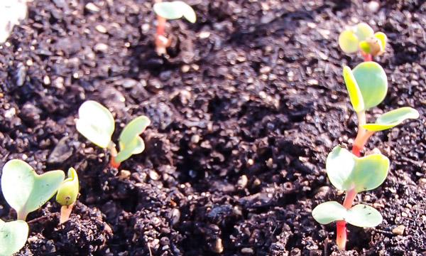 芽が出たらチョロチョロ、ザバー 自然農法センターのタネ 美味しいベビーリーフ