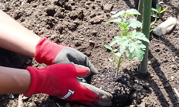 さあ、畑やプランターに植え替え 自然農法センターのタネ 美味しいミニトマト チャコ