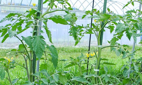 トマトといえば水切り!!! 自然農法センターのタネ 美味しいミニトマト チャコ