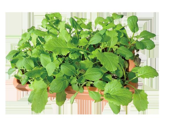 ベビーリーフ オーガニックなベビーリーフ 自然農法センターのタネは自然農法・有機栽培・家庭菜園に向いてます