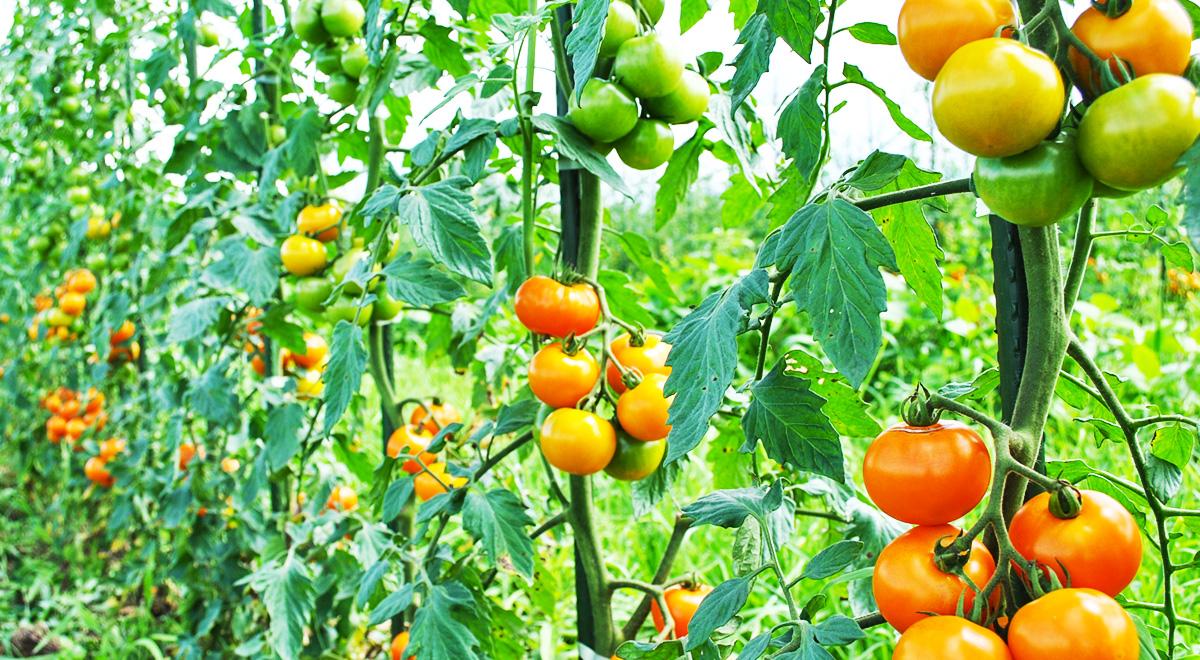 自然のタネから育てた野菜は新鮮な驚きが沢山 ミライタネの育て方?